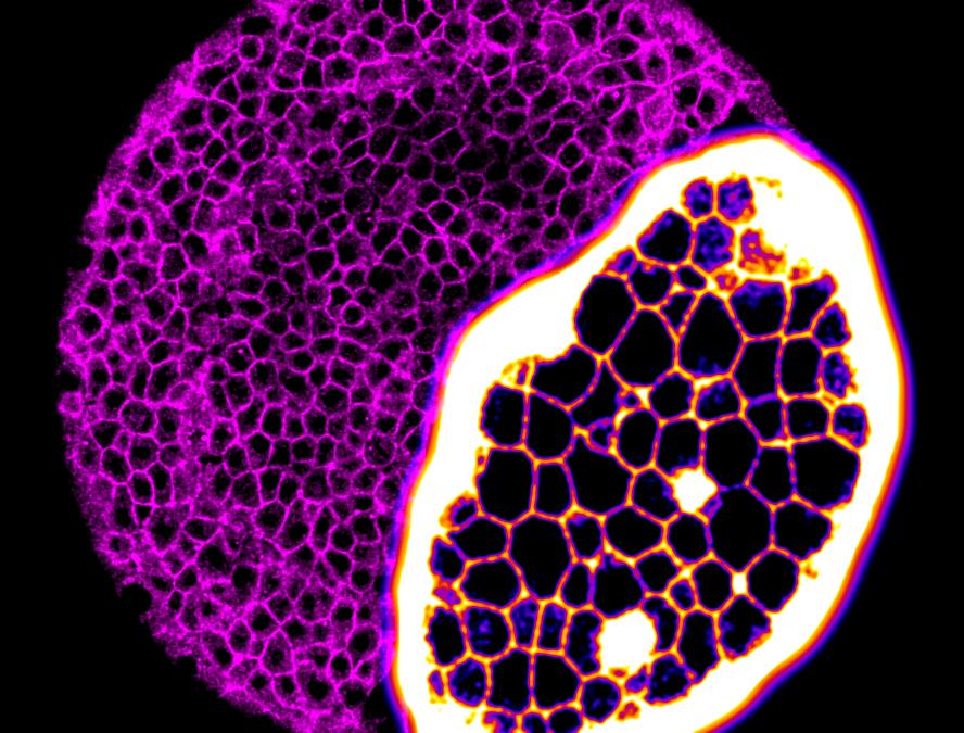 L'embrió fantàstic: mirant des de dins com es protegeix abans de tenir un sistema immune