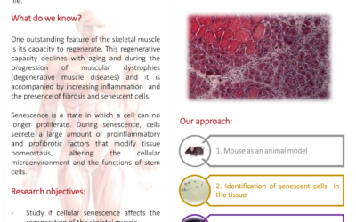 Muscle regeneration and cellular senescence in aged and dystrophic muscles