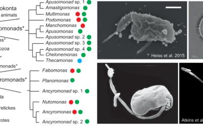 Euk-2-Us: Linking the origin of eukaryotes to the diversification of animals and fungi with genomics of nanoflagellates