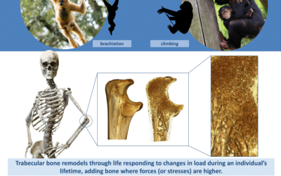 The evolution of locomotor specialisation in hominoids: internal bone structure analysis of the forelimb